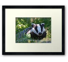 Badger in the warm summer sun Framed Print