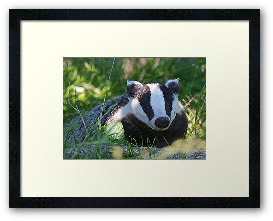 Badger in the warm summer sun by SteveHphotos