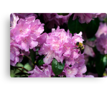 Spring Bee & Azalea Blossoms Canvas Print