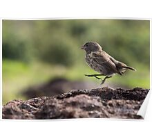 Galapagos Finch Poster