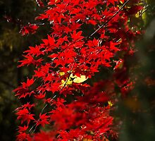 Red Maple Leafs by mroppx