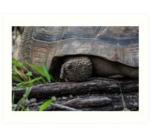 Galapagos Tortoise. Art Print