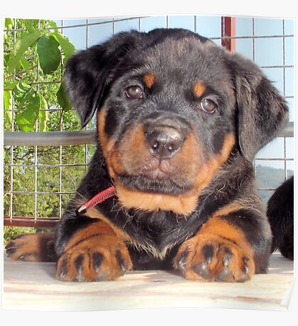 Female Rottweiler Puppy Photographic Portrait Poster