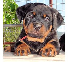 Female Rottweiler Puppy Photographic Portrait Photographic Print