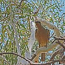 Juvenile Channel-Billed Cuckoo, Kimberley, Western Australia by Margaret  Hyde