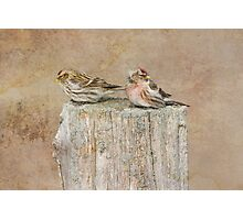 Mr and Mrs Redpoll Photographic Print