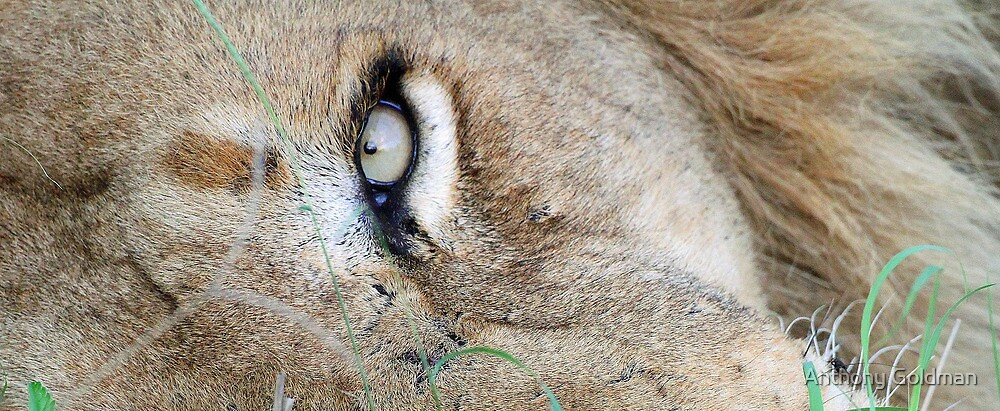 The eye of a lion by jozi1