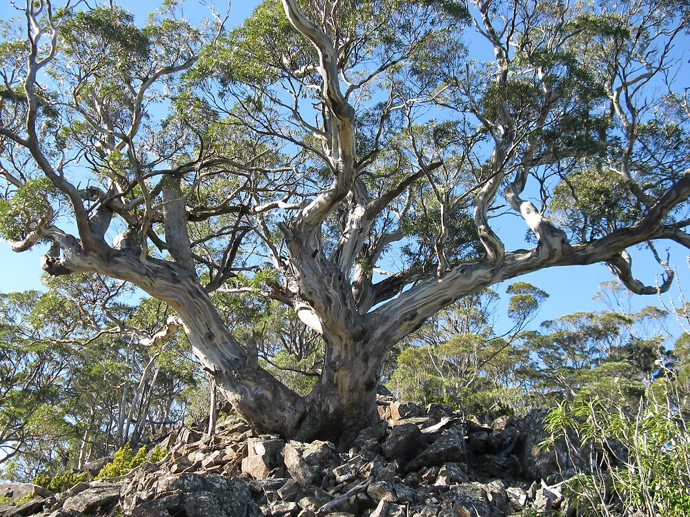 Eucalyptus Three Thumbs - photo Peter by PeterJF