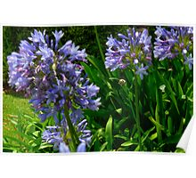 Agapanthus - Victoria Park, Sydney, NSW Poster