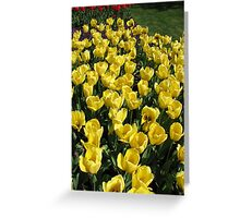 Glowing Golden Tulips in the Garden of Europe Greeting Card