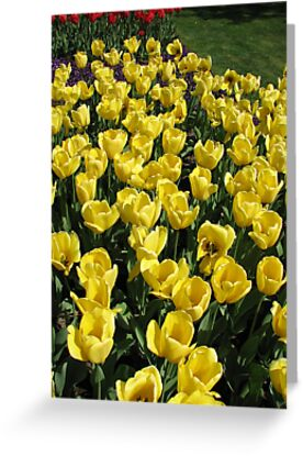 Glowing Golden Tulips in the Garden of Europe by BlueMoonRose