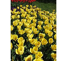 Glowing Golden Tulips in the Garden of Europe Photographic Print