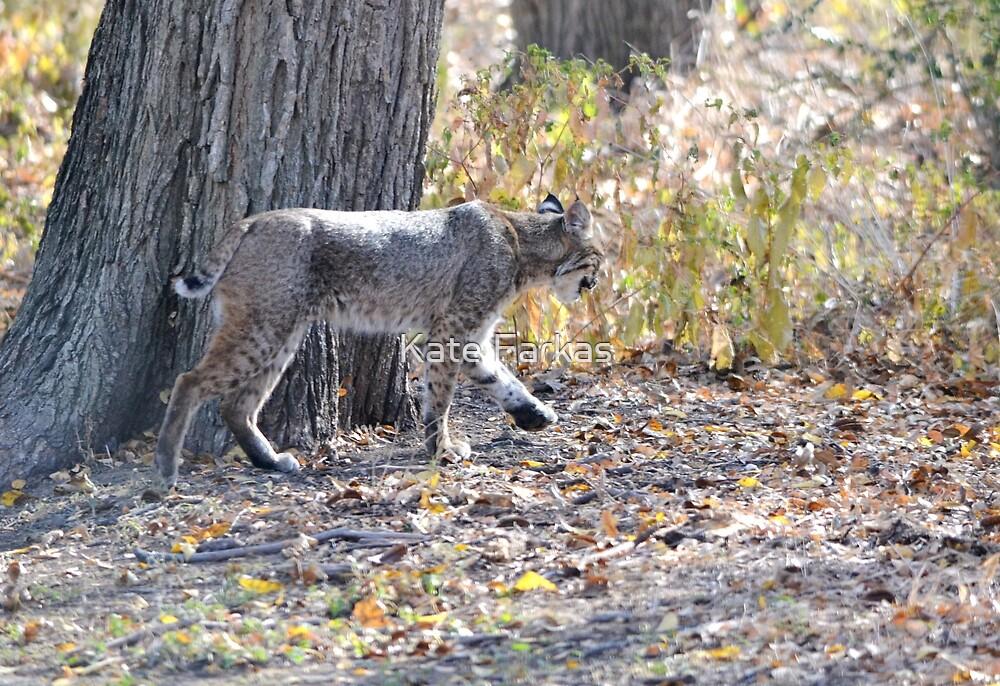 Bobcat sauntering by Kate Farkas