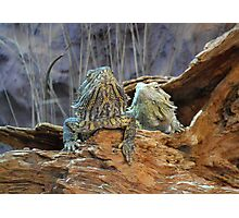 Two curious lizards Photographic Print