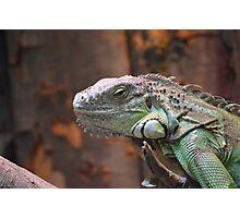 Beautiful peaceful Iguana Lizard sitting on a tree. Photographic Print