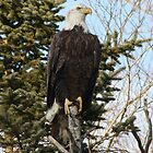 Bald Eagle 3 by MarquisImages