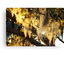 Spanish Moss at Dusk Canvas Print