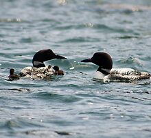 Two Loons with Two Babies by MarquisImages