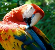Resident Macaw by MelMon8