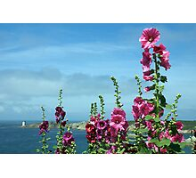 Beautiful pink flowers by the river estuary, Le Conquet, Brittany, France Photographic Print