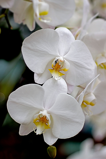 Orchids by Susan Tong
