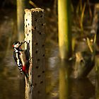 Great Spotted Woodpecker by mikeyg2000