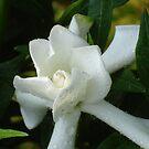 White Tiare Gardenia  by reneecettie