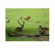 Deer, resting on hillside Art Print