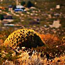 Barrel Cactus by Sheryl Gerhard