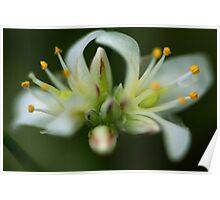 Laxmannia gracilis Poster