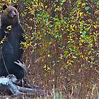Grizzly Bear On Moose Kill by Chris  Gale