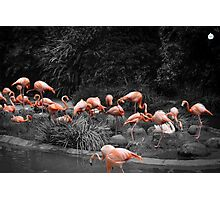 A Touch Of Flamingo Photographic Print