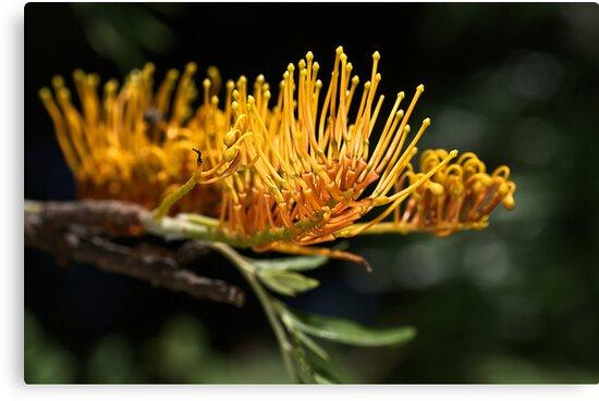 Tree Grevillea by Joy Watson