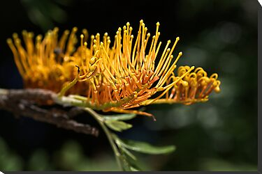 Tree Grevillea by Joy Watson