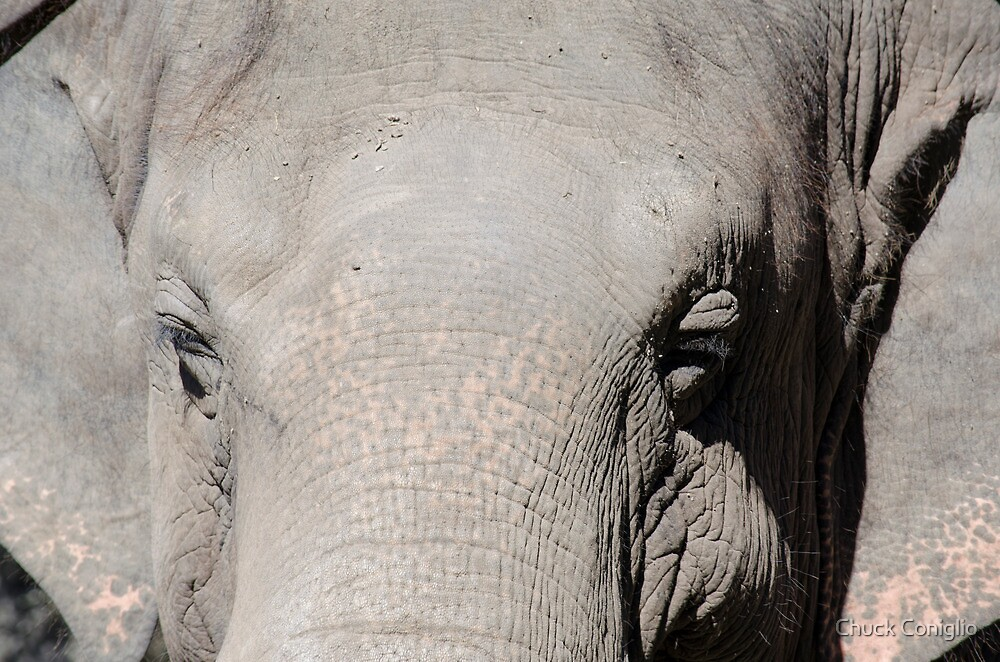 elephant face by Chuck Coniglio