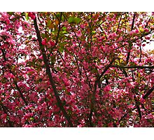 Crabapple days Photographic Print
