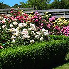 Rose Garden, Woolmers, Tasmania by Wendy Dyer