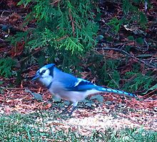 Little Blue Jay, don't stay away by MarianBendeth