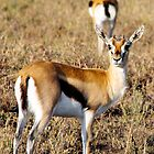 Thomson's Gazelle in the Serengeti  by Hannah Nicholas