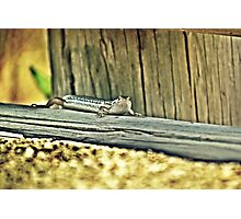 20090107- DSC05602 Googong Lizard f Photographic Print