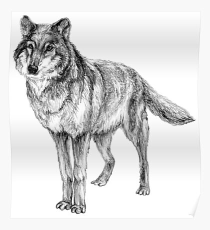 Grey wolf illustration Poster