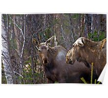 Two Moose Poster