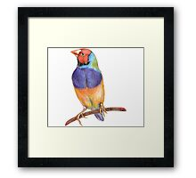 Bright gouldian finch bird Framed Print