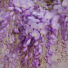 Soft Southern Wisteria by Kathy Baccari
