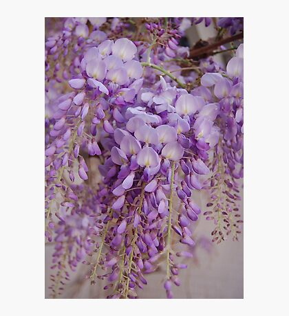 Soft Southern Wisteria Photographic Print