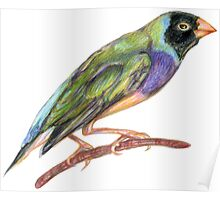 Hand drawn gouldian finch bird Poster