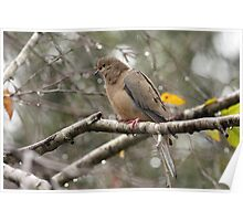 Mourning Dove in the Rain Poster