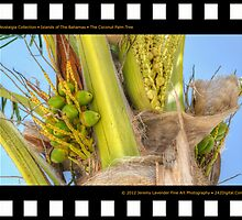 Nostalgia Collection • Islands of The Bahamas • Coconut Palm Tree in Nassau on New Providence Island by 242Digital