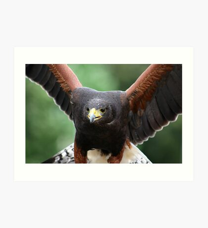 Harris' Hawk Art Print