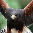 Harris' Hawk by Colin Shepherd